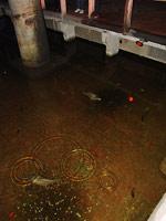Карпы живущие в воде цистерны Йеребатан