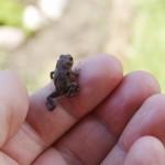 ручная жаба