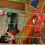 несут ли петухи яйца