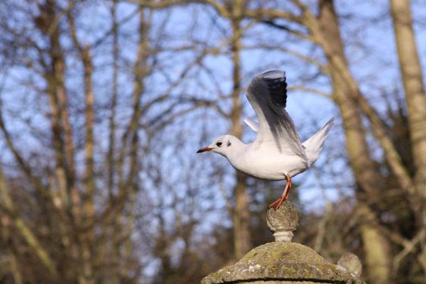 Британская чайка