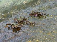 Колония тайских крабов