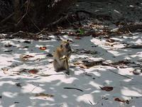 Обезьяны острова обезьян