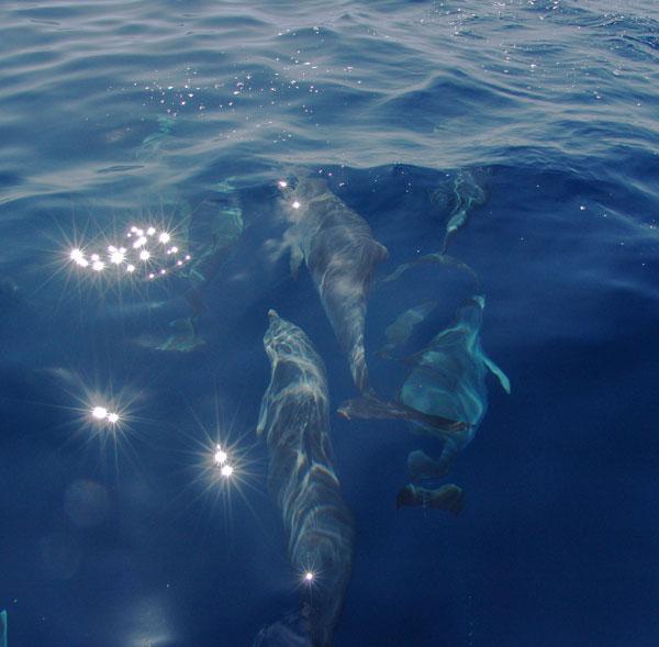дельфины около Азорских островов