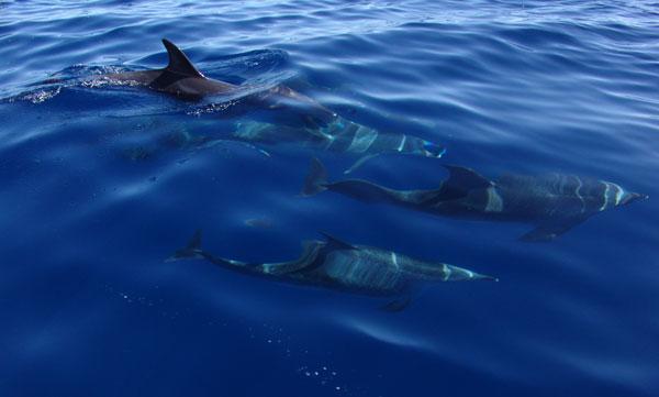 океанические дельфины около Азорских островов