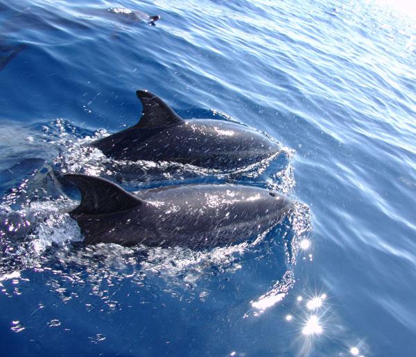 азорские дельфины