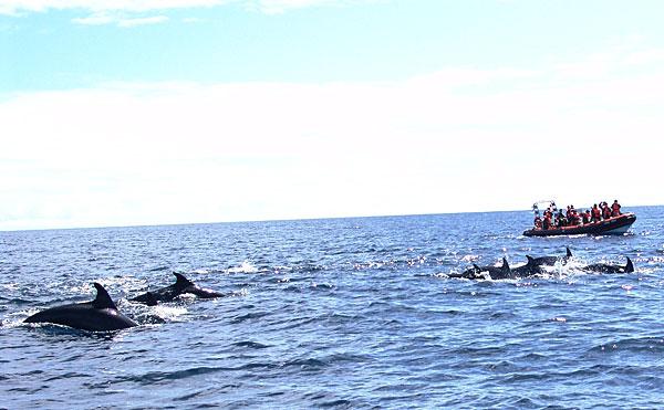 дельфины на Азорах