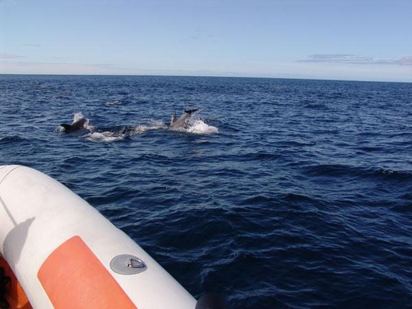 А вот показались и первые дельфины - хотя ехали изначально за китами