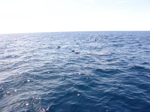 Птицы тем временем палят присутсвие рыбы, а значит дельфины рядом