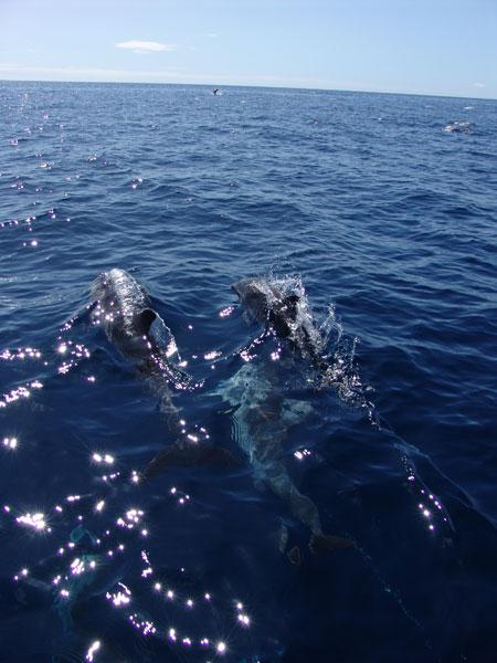 Дельфины то стремительно удаляются от лодки