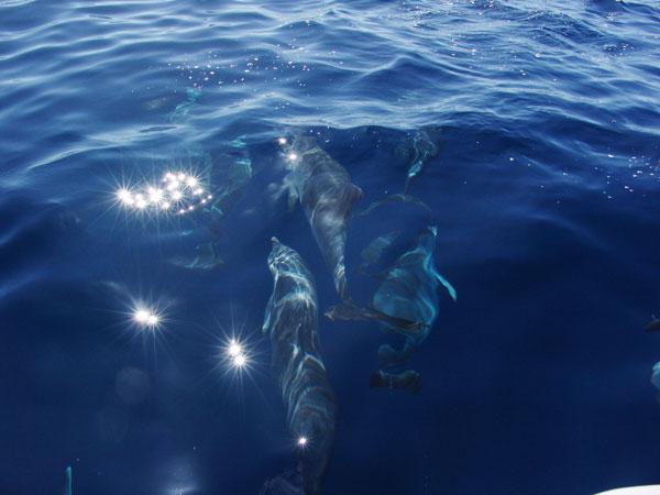 Озорные азорские дельфины