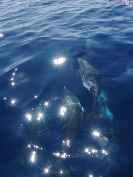 Стремительные тела дельфинов проносятся в воде словно стрелы