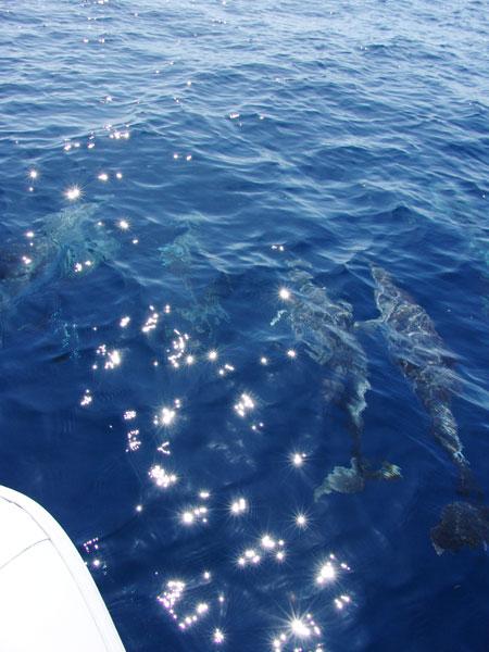 Дельфины идут вместе с нами, практически выводя нас на косяк рыбы