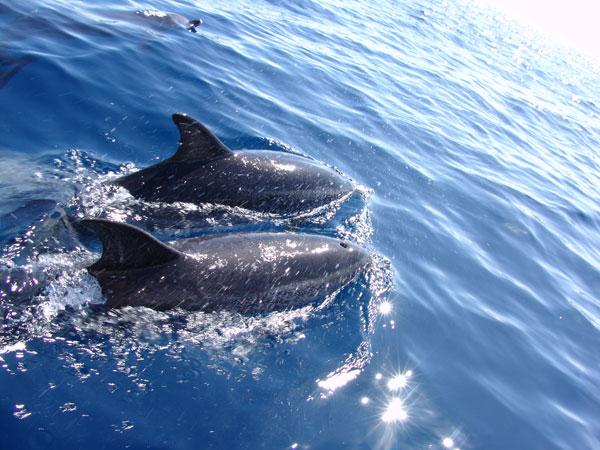 Достигнув точки кормежки, азорские дельфины начинают свои игрища